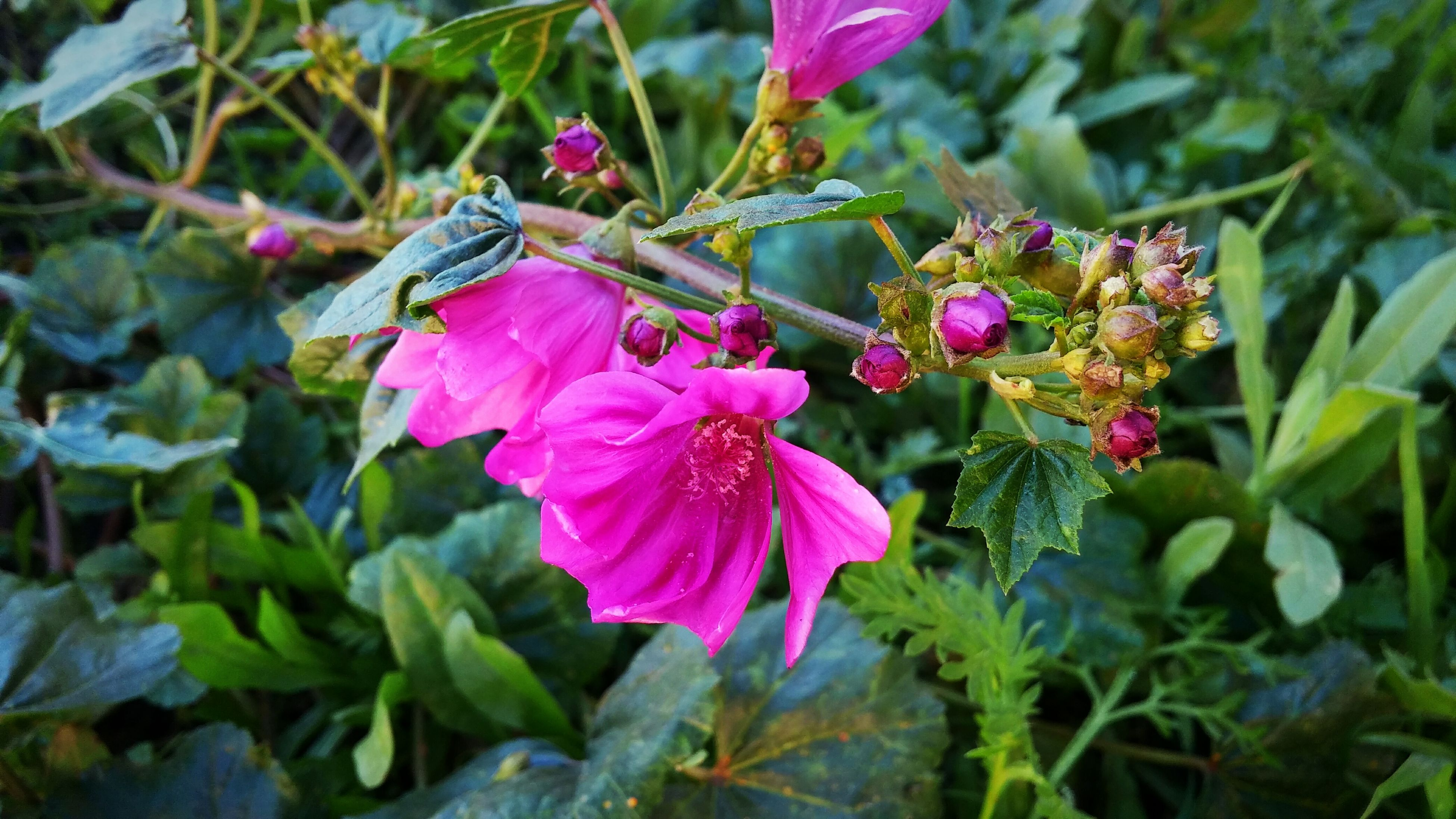 flower, freshness, petal, fragility, growth, pink color, flower head, beauty in nature, close-up, blooming, nature, focus on foreground, plant, leaf, in bloom, blossom, day, outdoors, botany, no people