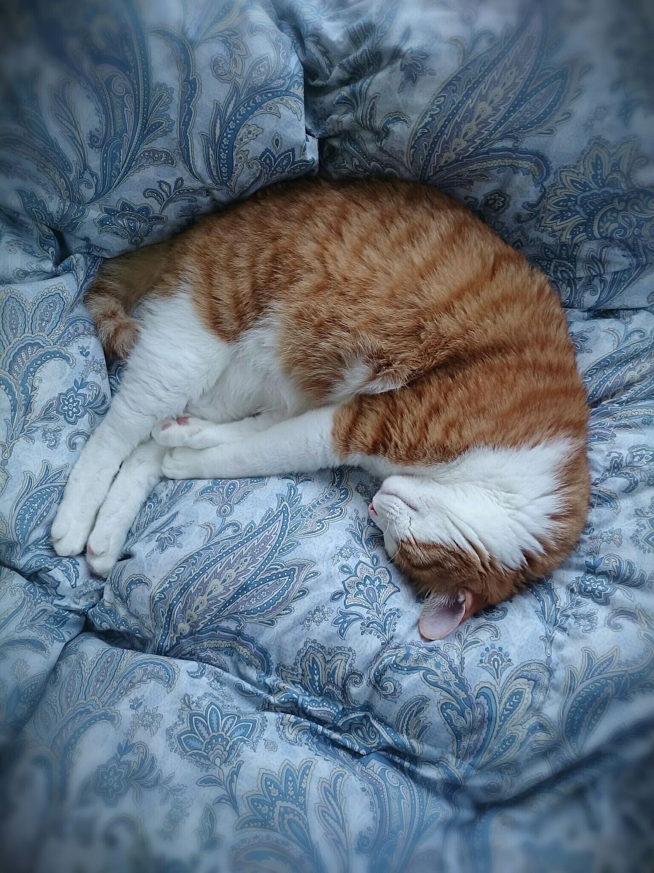dreaming. Relaxation Sleeping Animal Themes Pets Domestic Animals Domestic Cat Bed Portrait Cat Watching Catholic Catstagram Cat Lovers Cats Of EyeEm Catoftheday Animal Photography Catportrait Ilovecats Catboy Cat Photography Cats 🐱 Mycat♥ Japanesecat Red_tabby Japan Scenery Tokyo Days