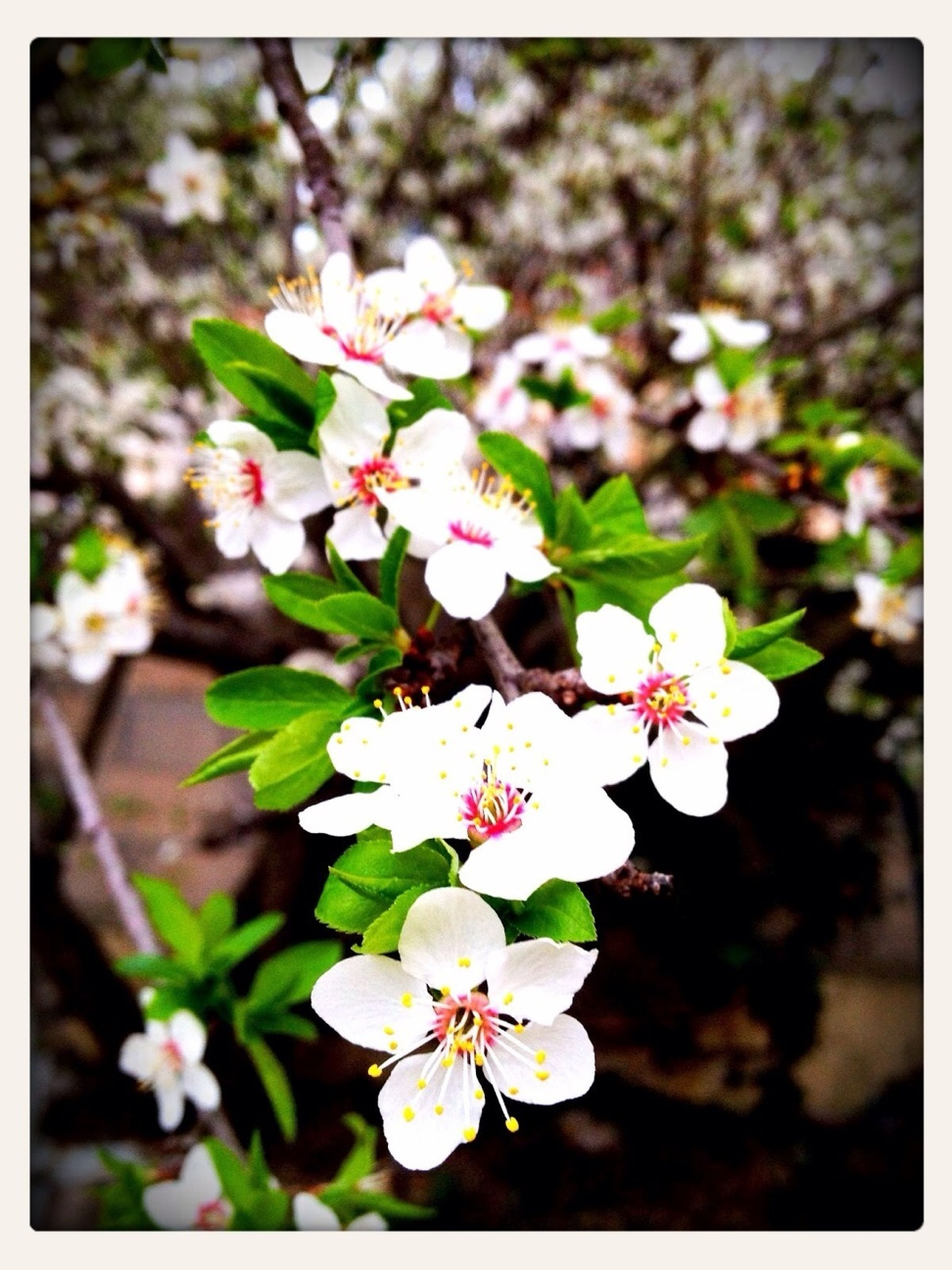 flower, freshness, transfer print, fragility, growth, petal, beauty in nature, nature, blossom, auto post production filter, white color, focus on foreground, flower head, blooming, close-up, branch, in bloom, pink color, tree, plant