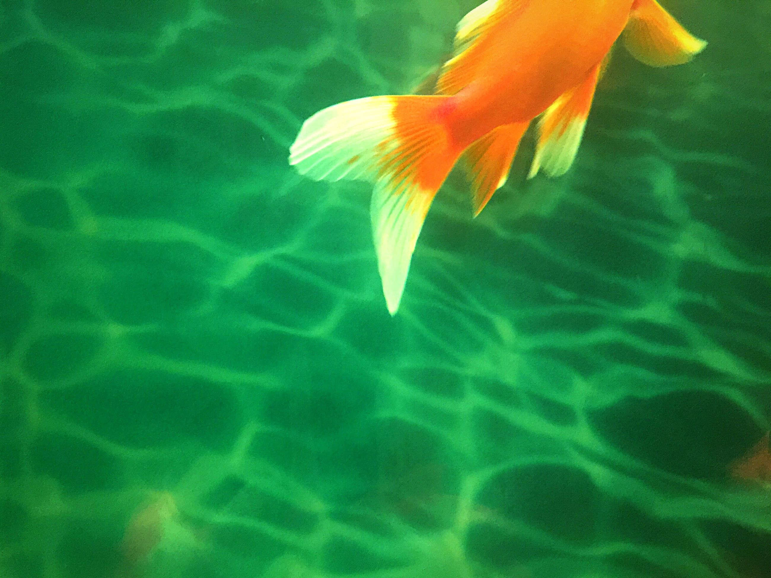 water, underwater, swimming, fish, beauty in nature, animal themes, nature, sea life, wildlife, animals in the wild, sea, undersea, one animal, orange color, pond, close-up, fragility, blue, petal, freshness