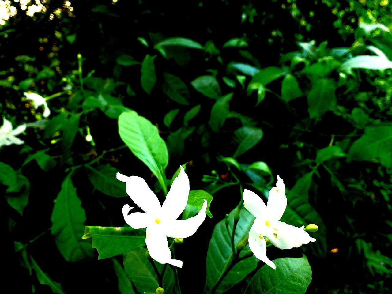 White Flowers Dual Flower Green Nature Beautiful Nature EyeEm Nature Lover Eye4photography  Beautifully Organized