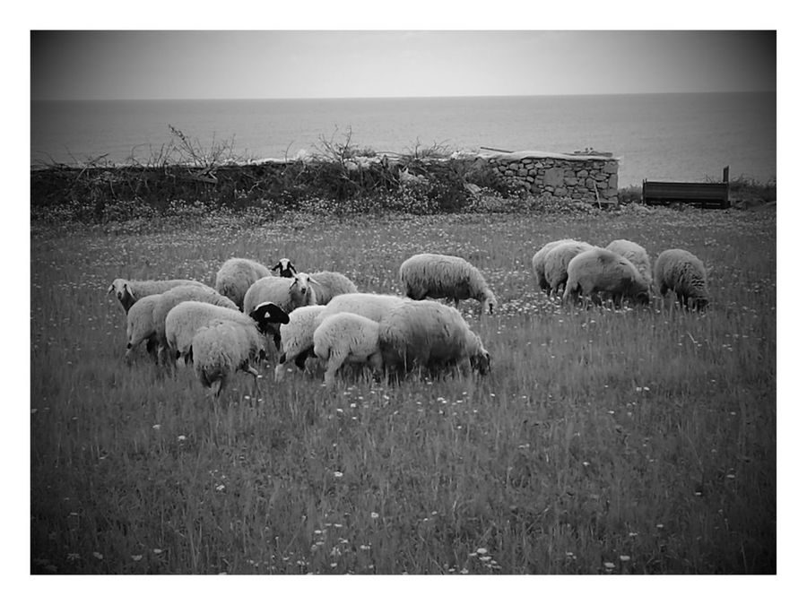 Large Group Of Animals Flock Of Sheep Sheep Domestic Animals