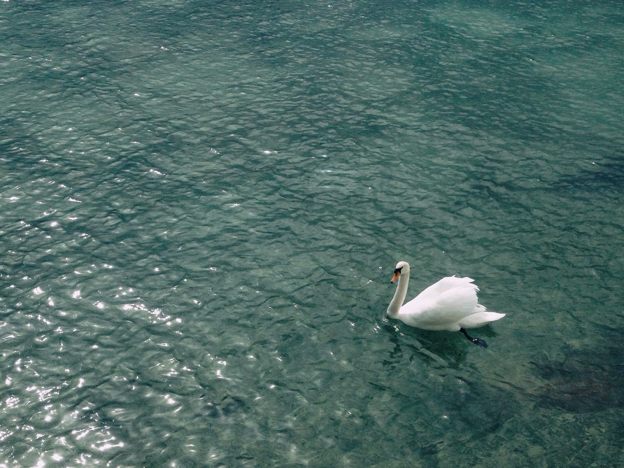 Animals Water VSCO No People Popular Photos Nature The Week On Eyem Popular No Blue Vscocam Simplicity Outdoors Pets Animal Swans Day Portrait Check This Out Hanging Out Love Sweet Tranquility Blue Water Showcase April