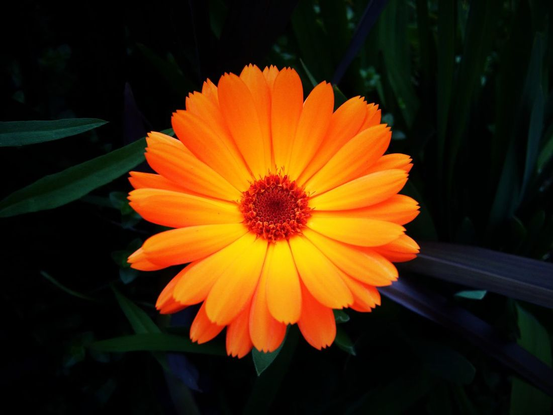 Beauty In Nature Plant Flower Orange Color Orange Flower Orange Marigolds Marigold🌻🌻 Marigold Marigold In Full Bloom. Marigold Flower Marigoldflower Flower Head Blooming Plant Life Plant Beauty In Nature Nature One Flower Blooming One Flowerhead One Flower One Flower Head Flower Photography Flower Collection Flowerlovers Plant Lover