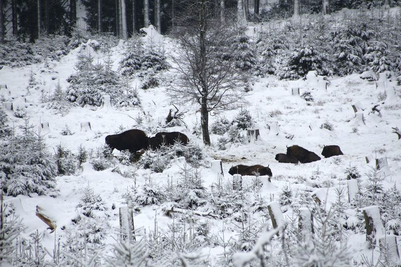 Wisent Wildnis Cold Temperature Weather Nature Winter No People High Angle View Snow Outdoors Day Backgrounds Beauty In Nature Tree Animal Themes Mammal Close-up Winter_collection Winterwonderland Wintertime Frozen Nature Beauty In Nature Sauerland Germany Snowing