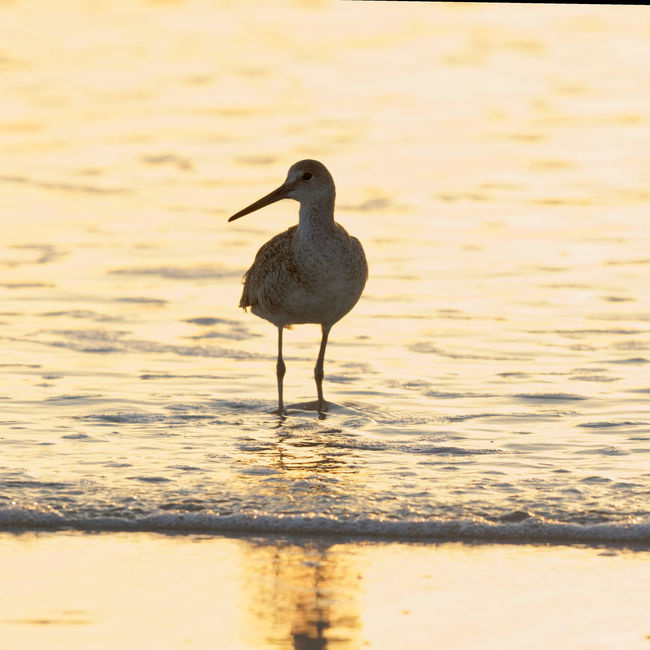 Willet In Morning Glow Animal Themes Avian Beauty In Nature Bird Focus On Foreground Jacksonville Beach Morning Nature No People Outdoors Rippled Shorebird Silhouette Small Waves Sunrise Tranquility Wading Bird Water Wildlife Willet First Eyeem Photo