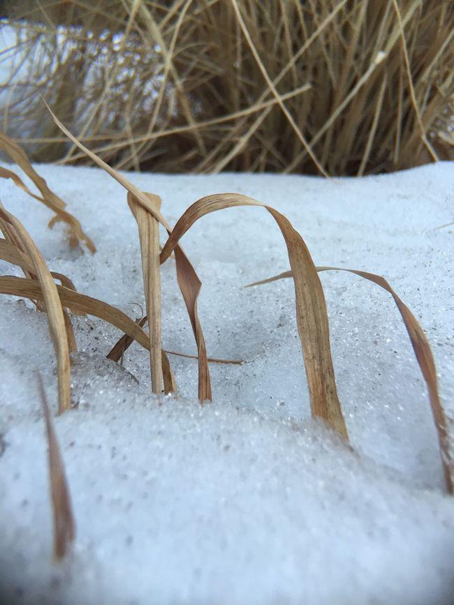 IPS2016Winter Snow Decorative Grass Grass IPhoneography