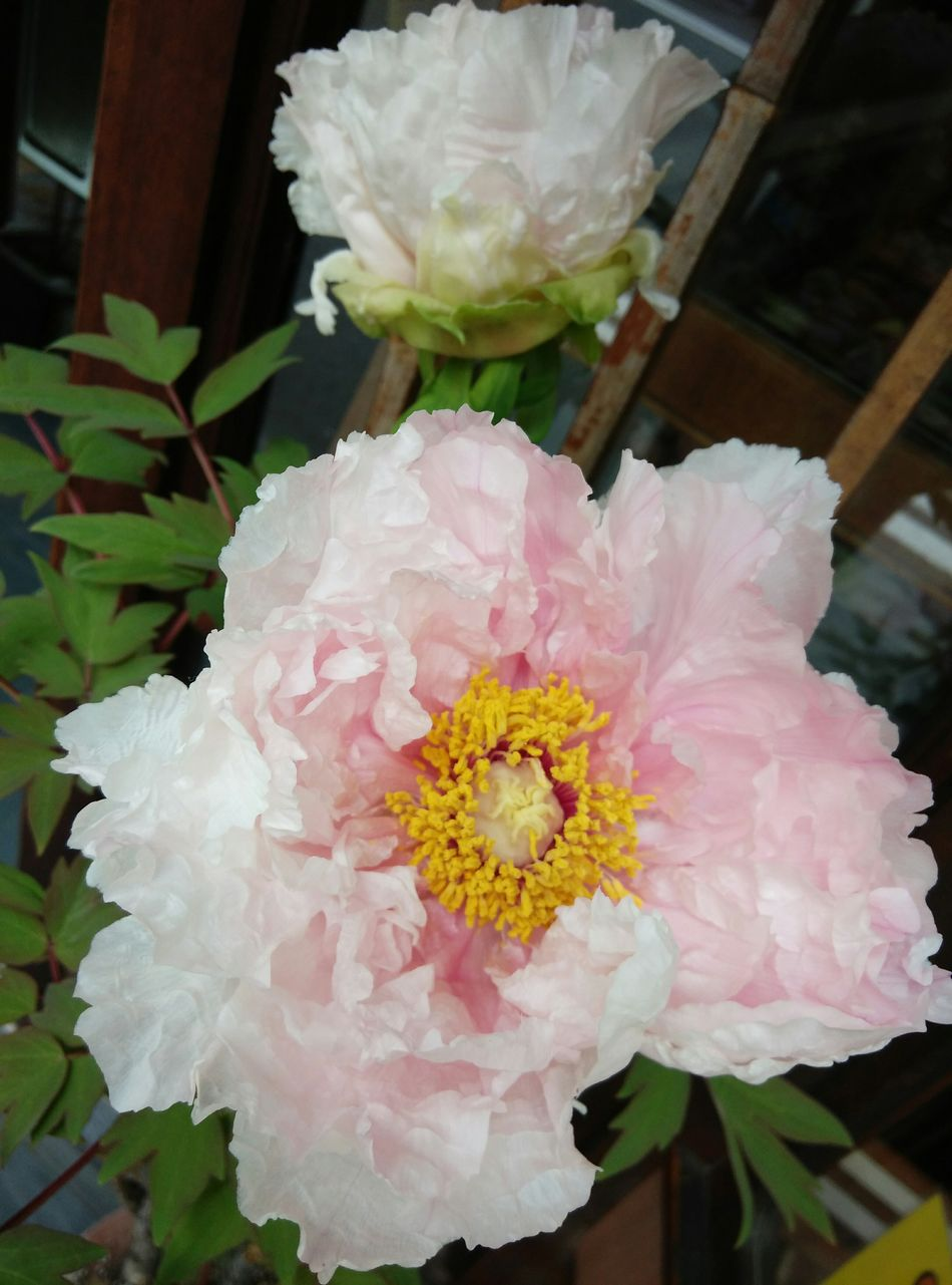 Simply beauty Blooming In Spring Beautiful Pink Flower Exciting To Watch Rightplacerighttime Shitennoji OSAKA Japan