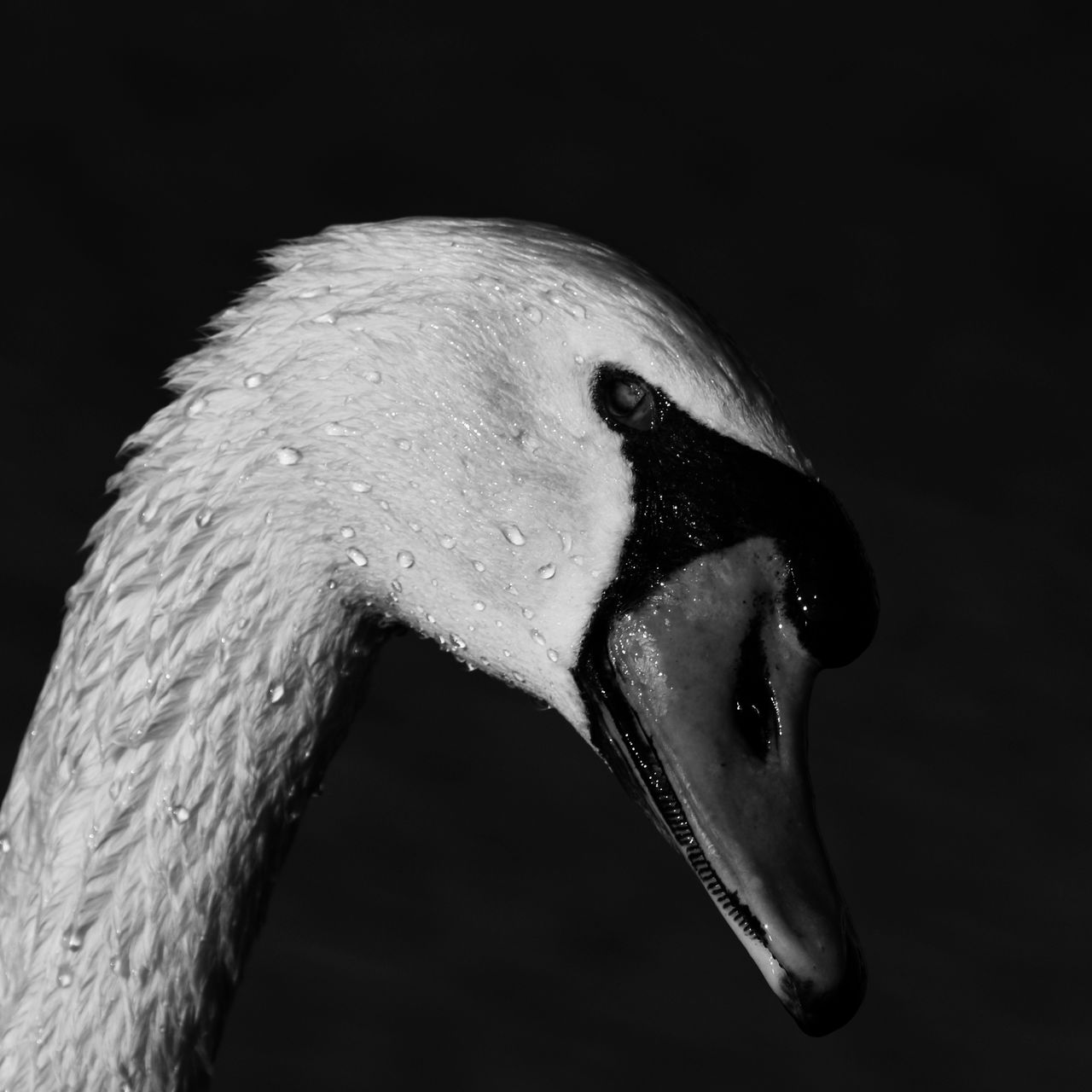 Black Background One Animal Animal Body Part Close-up Portrait Animal Themes One Person People Adults Only Adult Day Black And White Collection  Black And White Collection  Texas Photographer Black And White Collection! Animals In The Wild