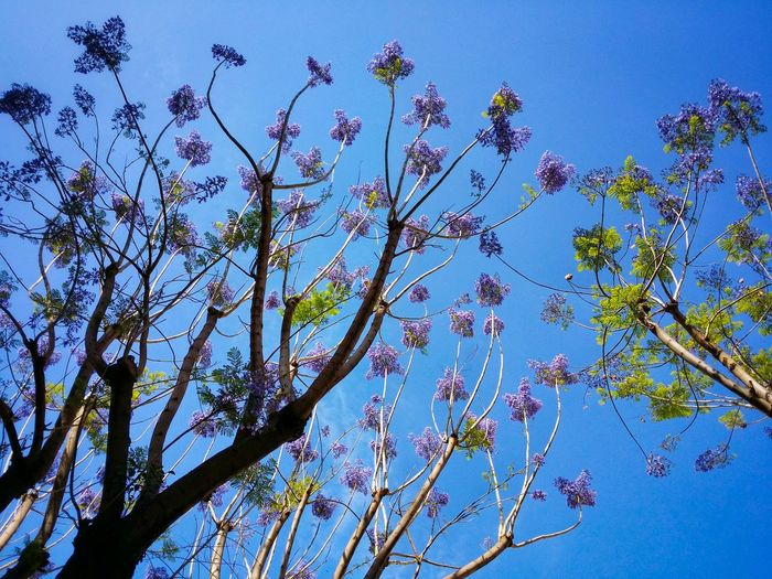 Flowered Jacaranda Trees Urban Nature's Wonders Palermo Sicily Italy Travel Photography Travel Voyage Traveling Mobile Photography Fine Art Looking Up Nature Mobile Editing