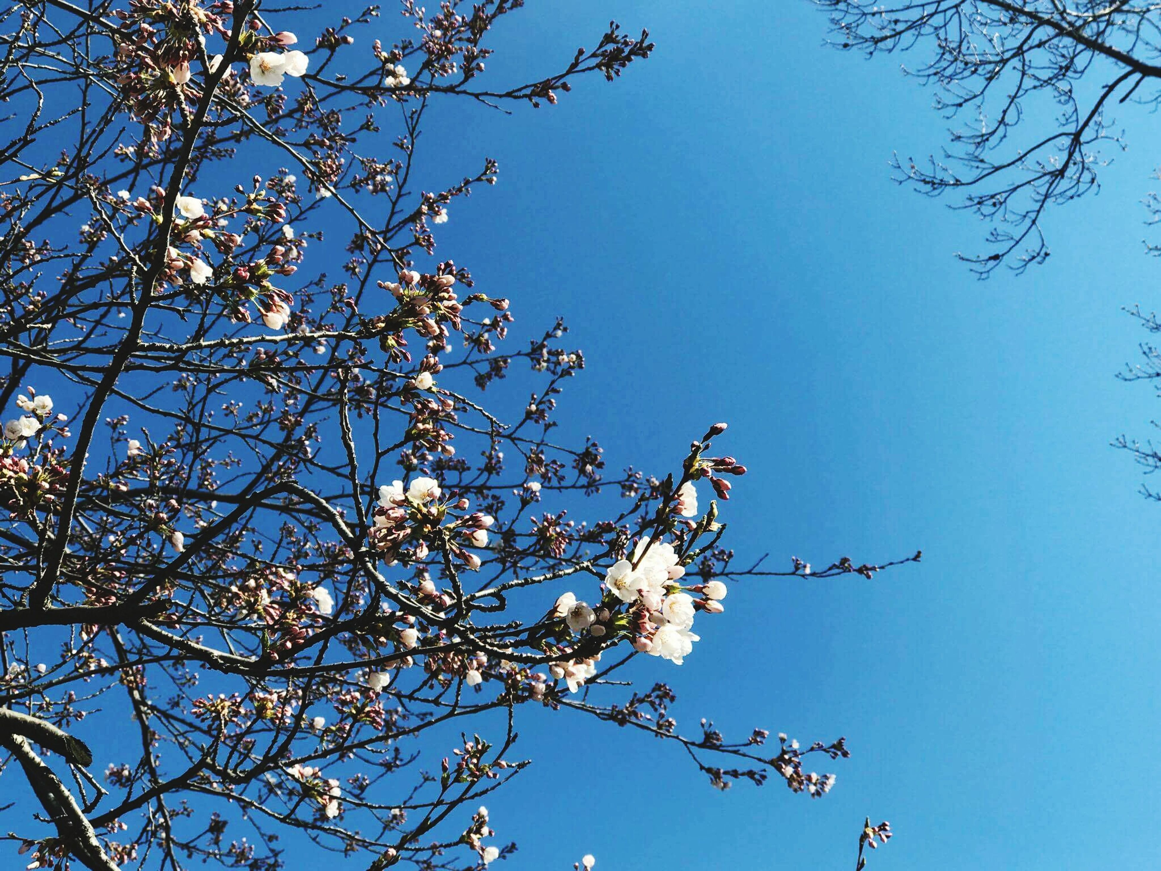 tree, low angle view, nature, branch, beauty in nature, springtime, bird, growth, animal themes, flower, one animal, no people, blossom, outdoors, sky, day, fragility, clear sky, animals in the wild, freshness, perching, plum blossom