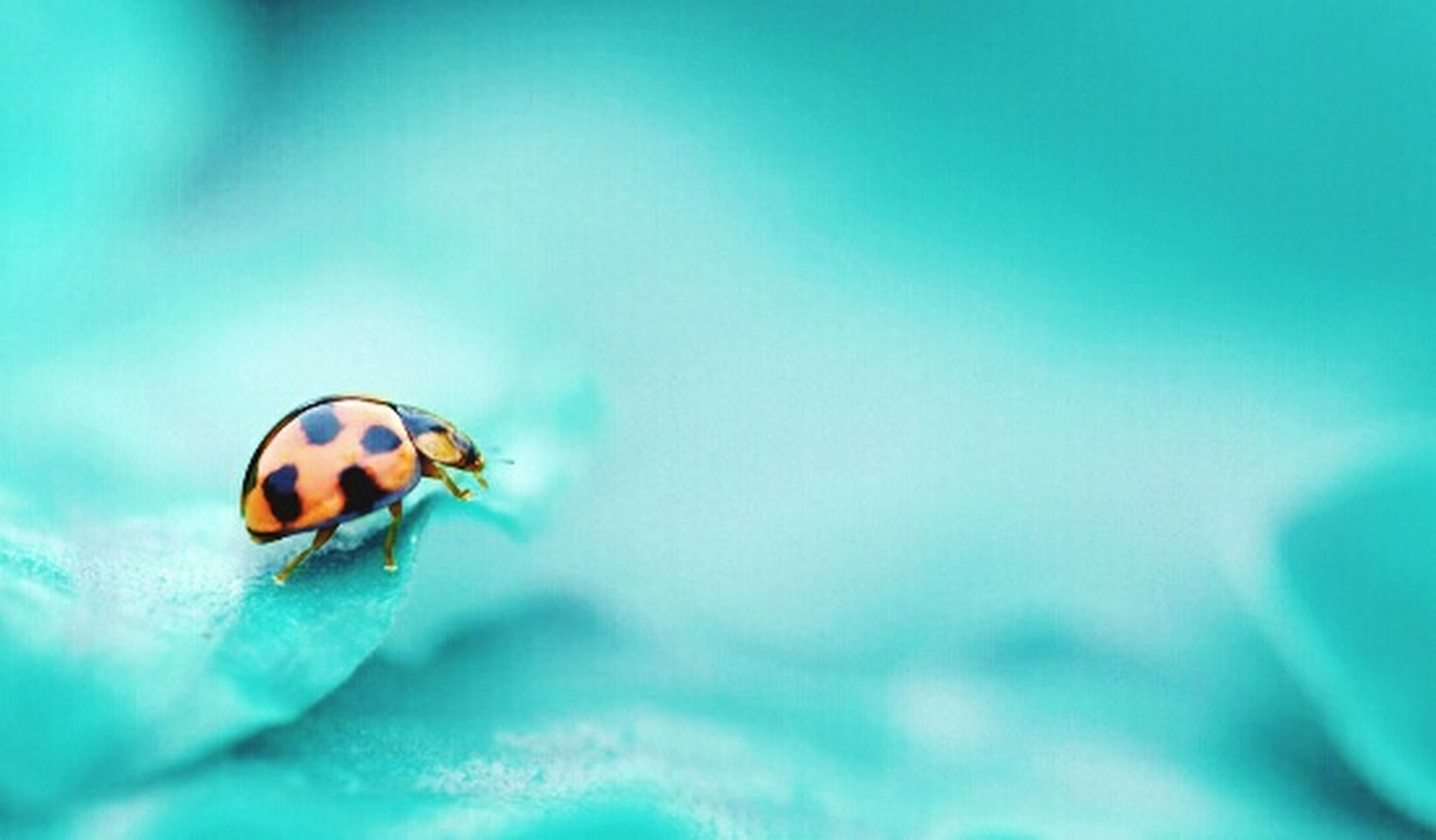 insect, one animal, animal themes, animals in the wild, wildlife, blue, close-up, selective focus, ladybug, nature, zoology, focus on foreground, day, beauty in nature, outdoors, full length, no people, beetle, arthropod, two animals
