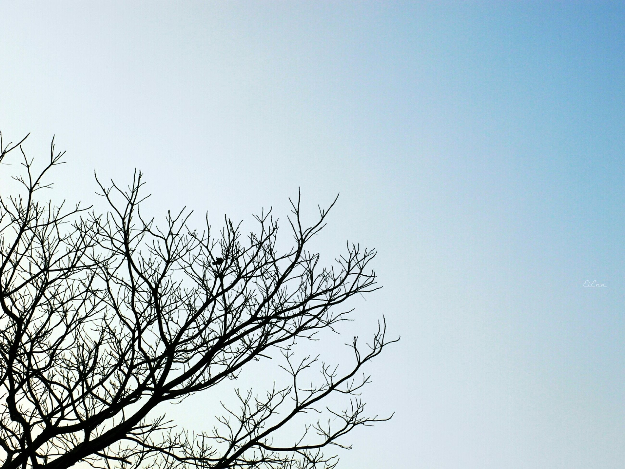 clear sky, low angle view, branch, bare tree, tree, copy space, nature, tranquility, beauty in nature, blue, scenics, growth, outdoors, high section, no people, day, silhouette, sky, tranquil scene, treetop