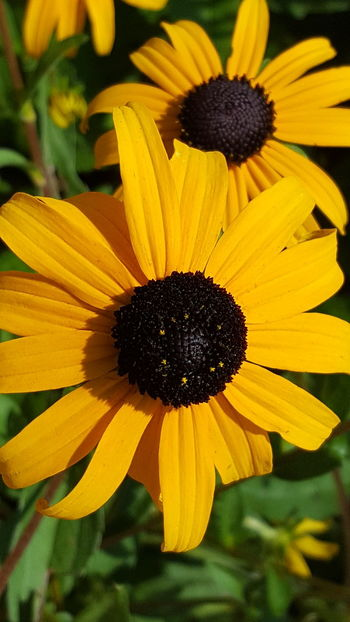 Flower Yellow Petal Fragility Freshness Plant Beauty In Nature Black-eyed Susan Growth Nature Flower Head Pollen Day No People Sunflower Outdoors Selective Focus Close-up Springtime Blooming