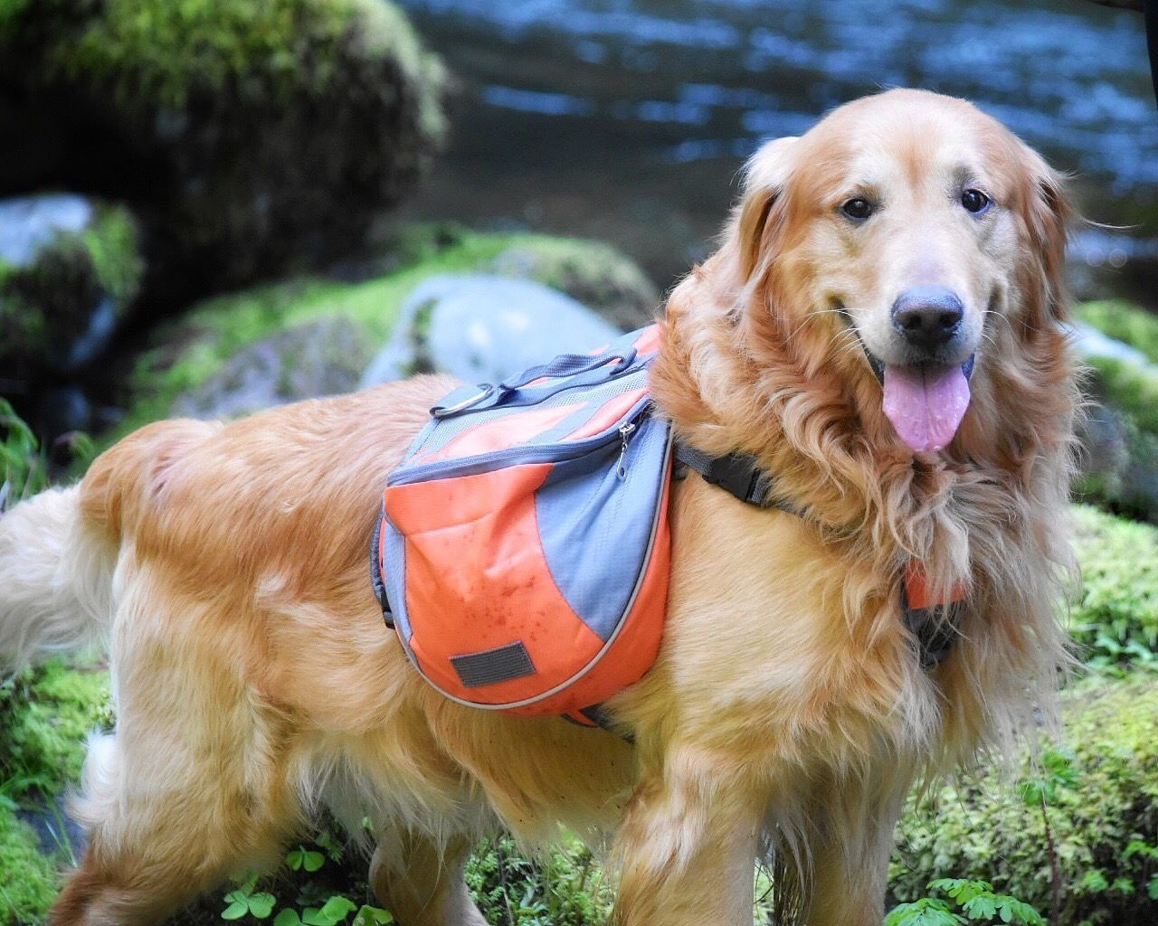 Dog Pets One Animal Animal Themes Domestic Animals Mammal Golden Retriever Portrait Outdoors Looking At Camera No People Day Nature Close-up Pet Photography  Dogs Of EyeEm Backpacking Dog Pack Hikingadventures Golden Retriever Hiking Nature Focus On Foreground The Great Outdoors - 2017 EyeEm Awards