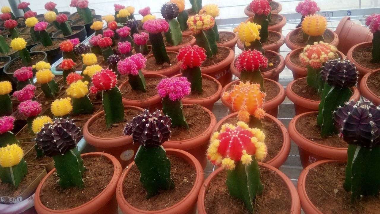 Full Frame Variation Red No People Multi Colored Freshness Large Group Of Objects Flower Backgrounds Fragility Nature Outdoors Day EyeEm Gallery Nature Photography Cactus Flower Nature_collection Freshness EyeEm Gallery Nature_collection Cactus Nature Home Interior Greenhouse Multicolor