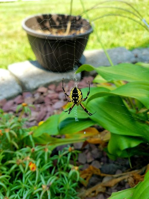 Insect Focus On Foreground Plant Wildlife Outdoors Arthropod Green Color Nature No People Spiderweb Spiders Spidersweb Spidersofinstagram Spiders Are Cool Yellow Naturelovers Naturephotography Nature_collection Check This Out Beauty In Nature