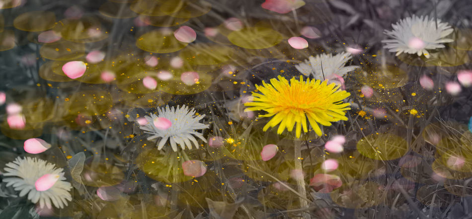 Beauty In Nature Blooming Choice Close-up Day Flower Flower Head Flowers In The Water Fragility Freshness Growth Nature No People Outdoors Petal Plant