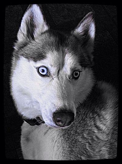 #rockstar#husky
