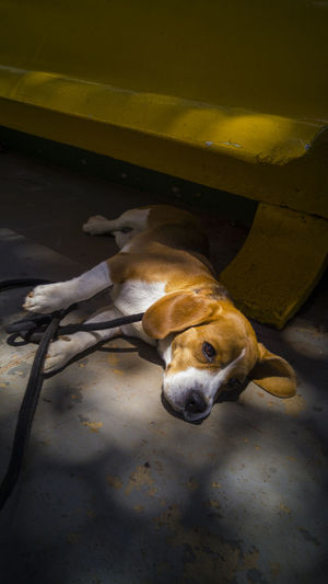Darkness And Light Contrast City Urban Light And Shadow Brasília Brazil Dog Capture The Moment Beagle EyeEm Contrasts Domestic Animals Beagles Of Eyeem Beagle Dog Pets Beagles Of Eyyem One Animal Wallpaper