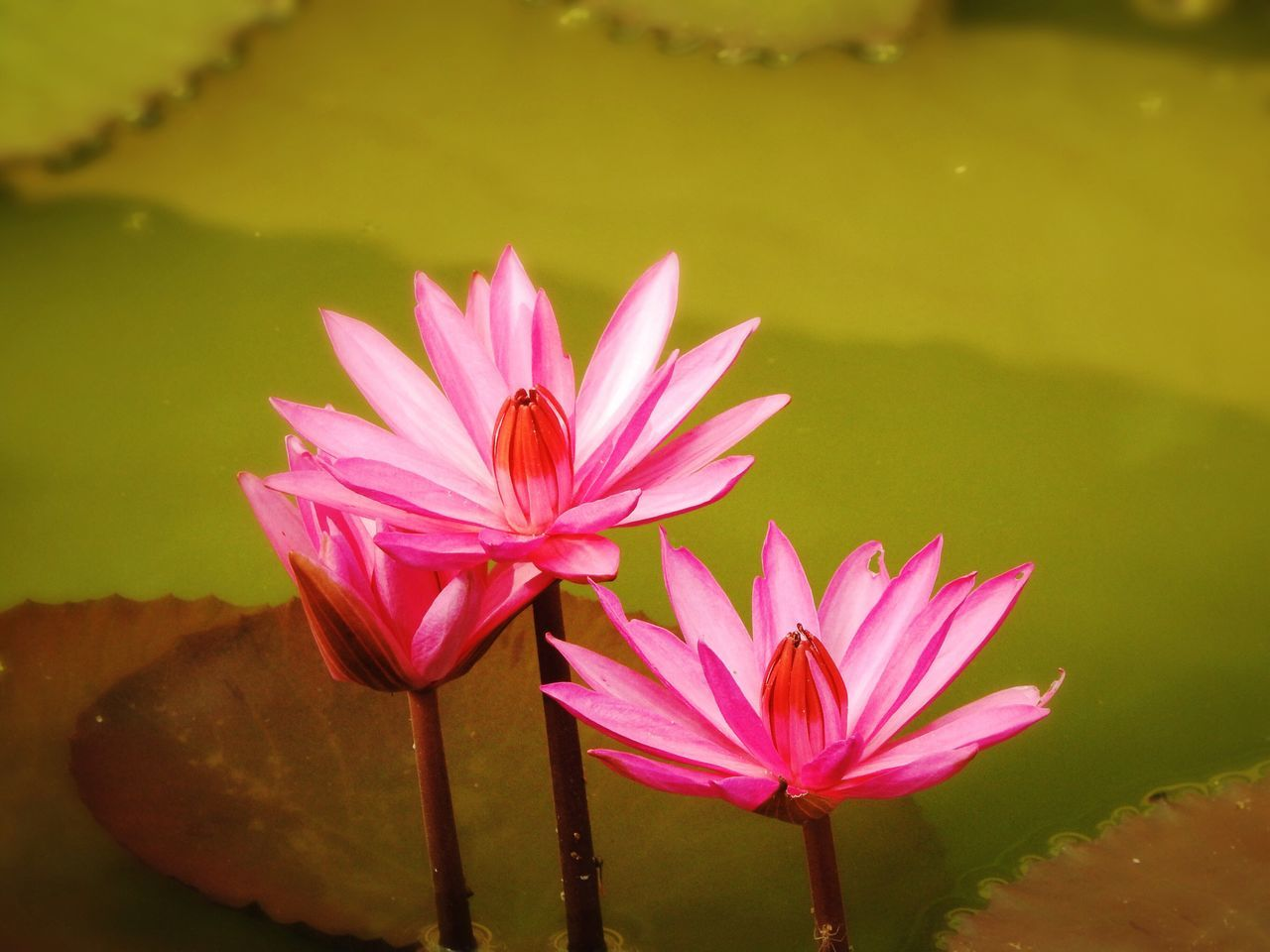 flower, beauty in nature, petal, nature, pond, lotus water lily, water lily, freshness, fragility, flower head, growth, lotus, water, no people, day, pink color, plant, leaf, floating on water, outdoors, close-up, blooming, lily pad