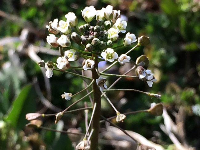 Flower 春の野の花 薺/なずな 別名 ぺんぺん草