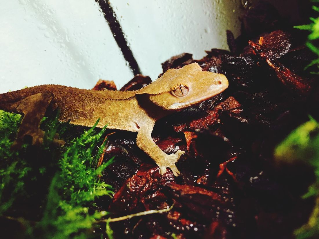 Crested Gecko Animal Themes Nature One Animal
