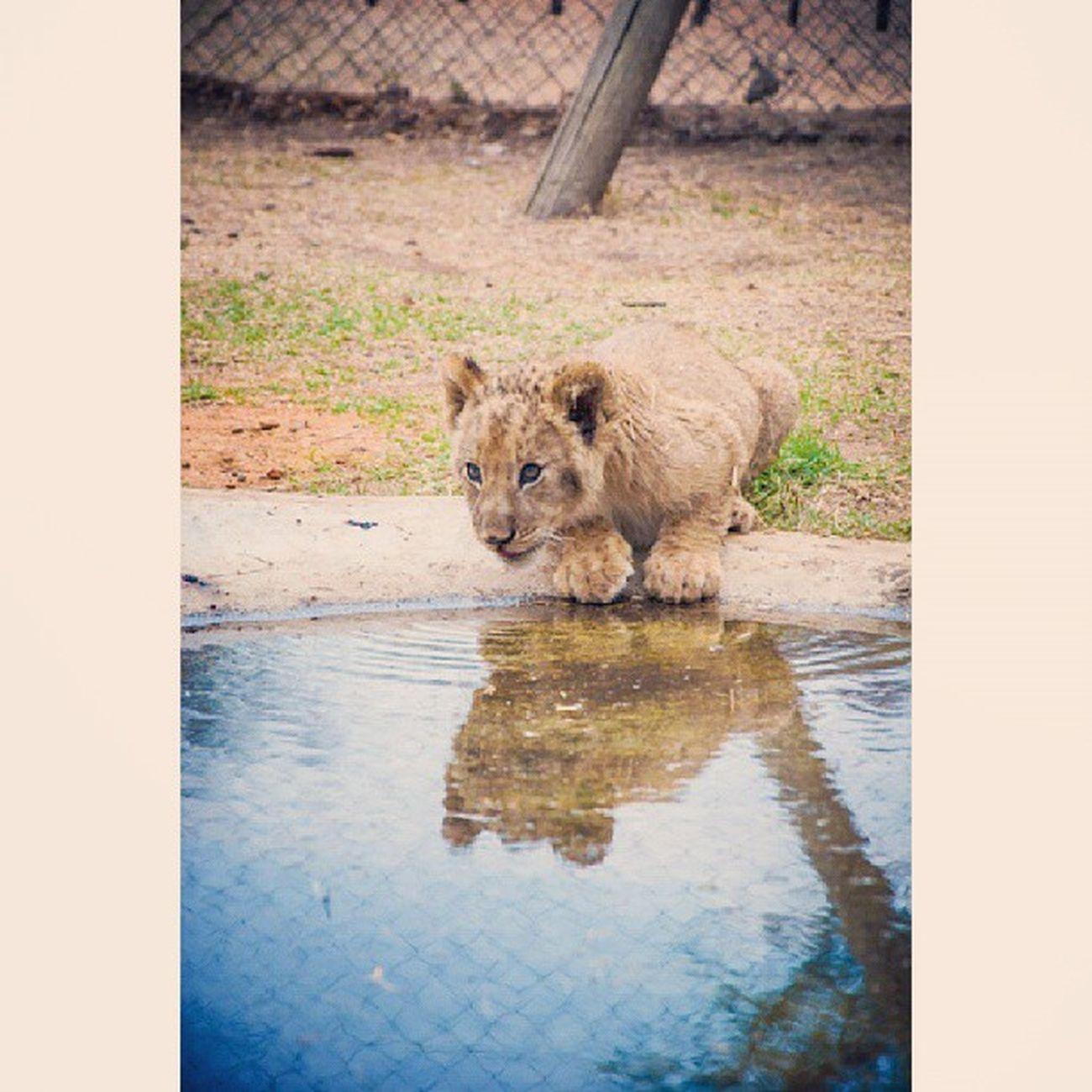 Lion Cub Simba LOL obey ur thirst lanceria
