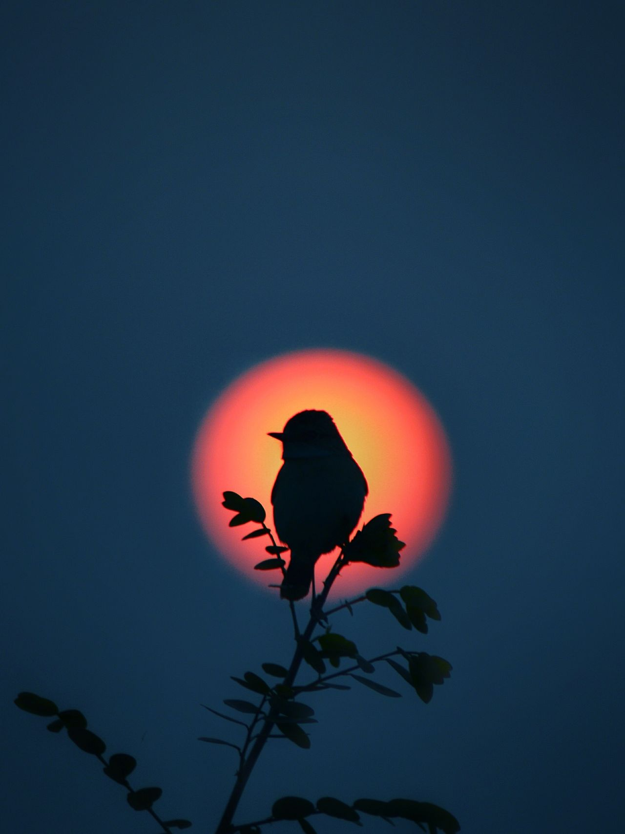 EyeEmNewHere Bird Sunrise Beauty In Nature Branch Sky Sunshine Sunlight Birds Of EyeEm  Nature EyeEmBestPics EyeEm Gallery EyeEm Best Edits Outdoors Eyemmarket EyeEm Best Shots - Nature