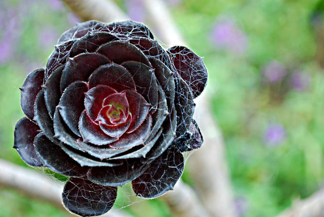 Beauty In Nature Black Close-up Colors And Patterns Focus On Foreground Freshness Plant Spider Webs Succulents