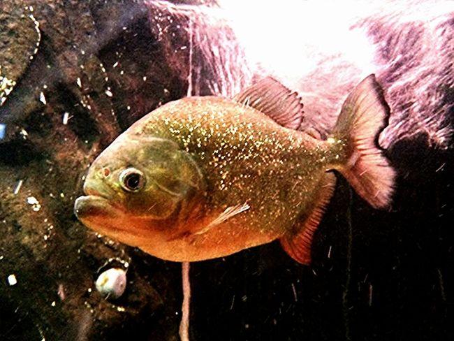 Piranhas Fisheye Fish Aquarium Fish