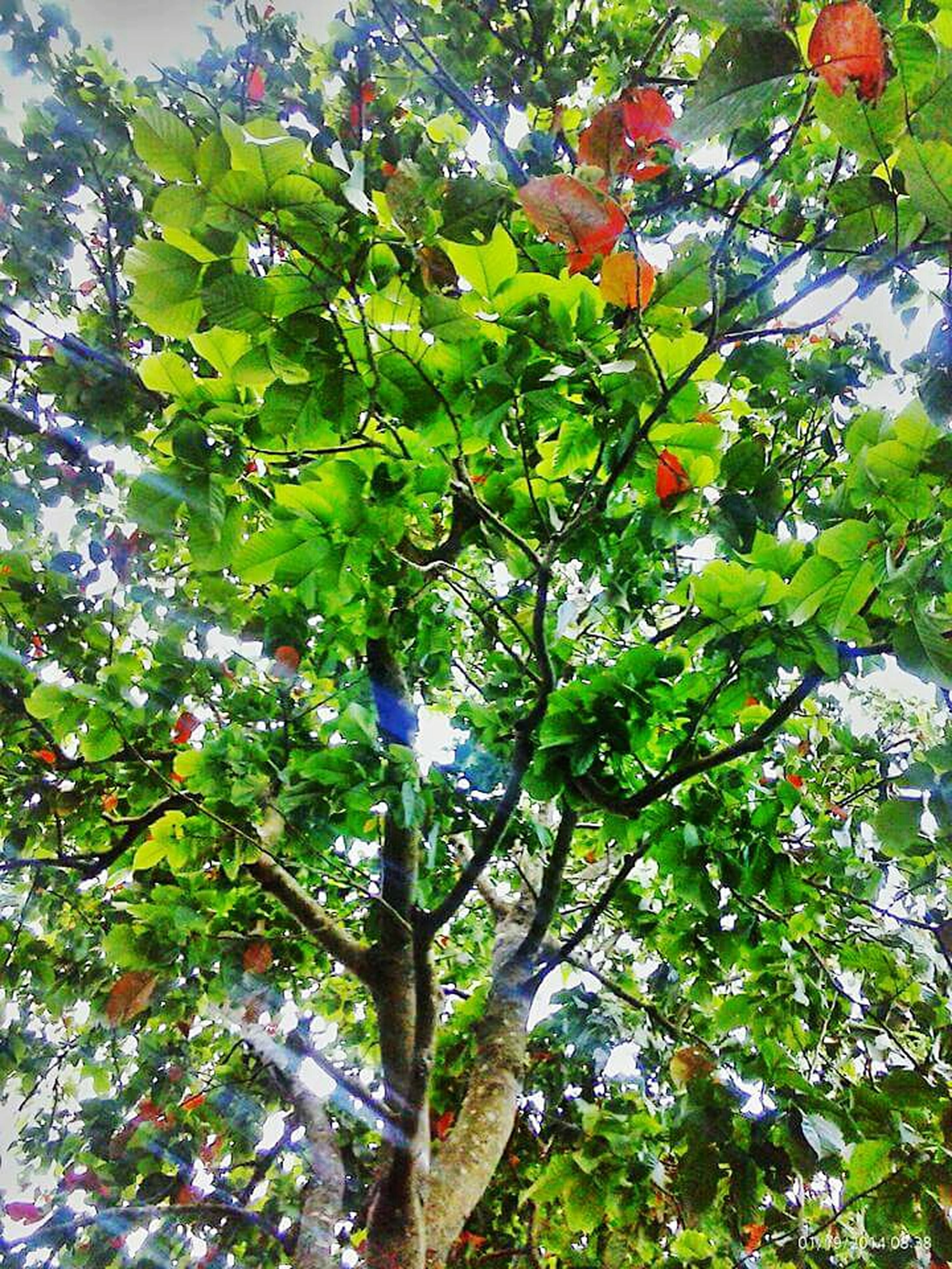 tree, branch, low angle view, growth, leaf, nature, beauty in nature, green color, freshness, tranquility, day, outdoors, fruit, sunlight, no people, sky, lush foliage, green, growing, hanging