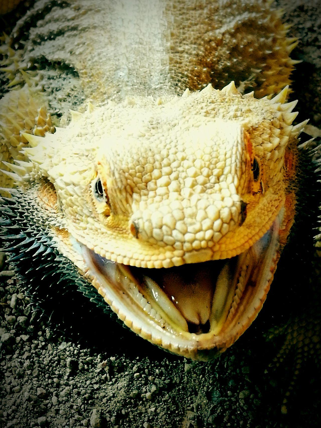 Bearded Dragon Lizard Australian Reptile