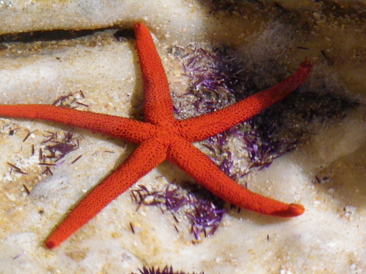 red starfish Close-up Multi Colored Nature Red Sea Life Sea_bed Starfish  White Color