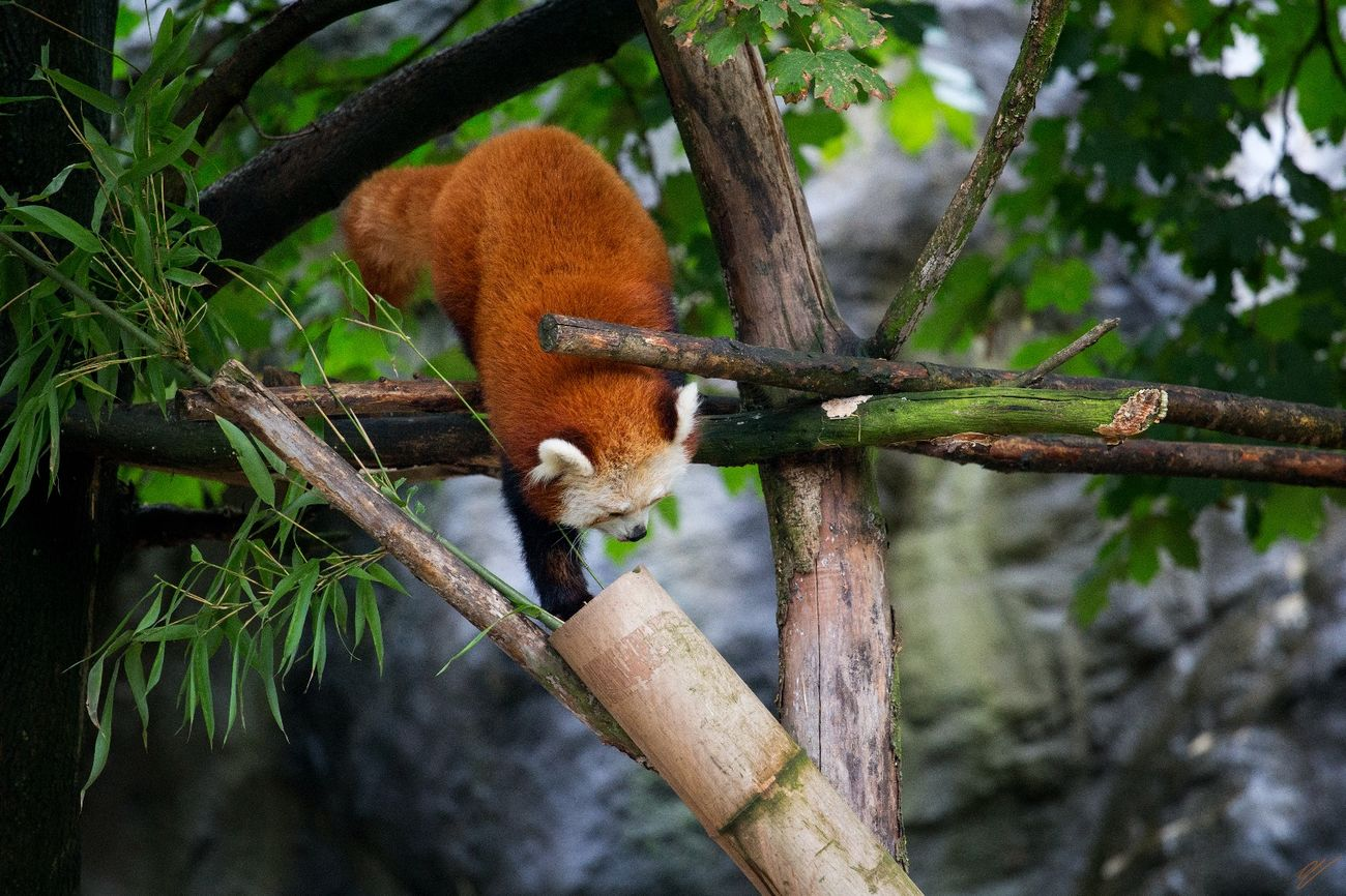 "Red Panda at ""Hagenbecks Tierpark"" Animal Themes One Animal Animal Wildlife Nature Tree No People Day Outdoors Zoo Red Panda Fluffy Cute"