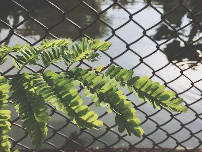 Reflection Fence Chainlink Fence Green Color Leaf No People Nature Growth Plant Outdoors Day Close-up Sky