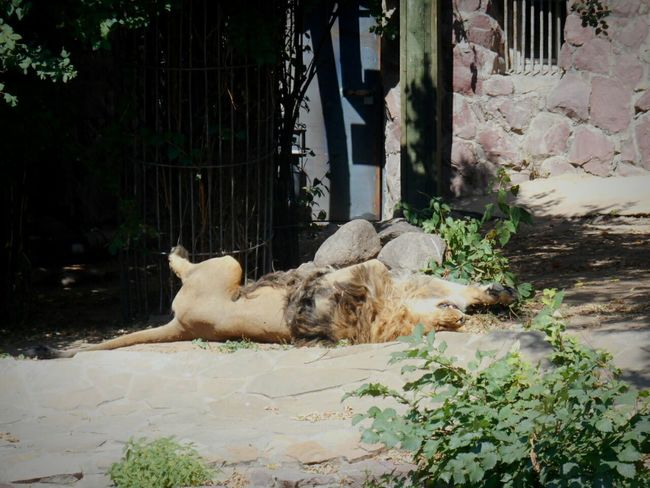 💮photo from my photo archive💮 Animal московскийзоопарк Moscow Zoo Zoo Moscow, Москва Welcome Russia россия Like Relaxing Lion