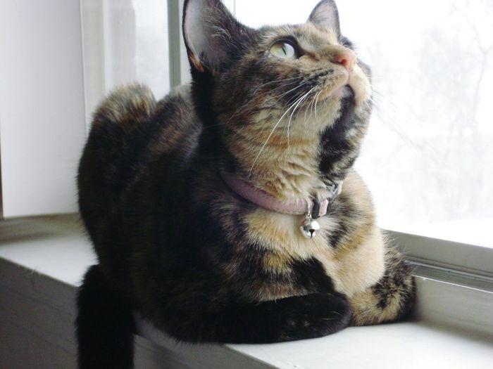 My cat Topaz. Domestic Cat Pets Indoors  One Animal Feline Pet Portraits