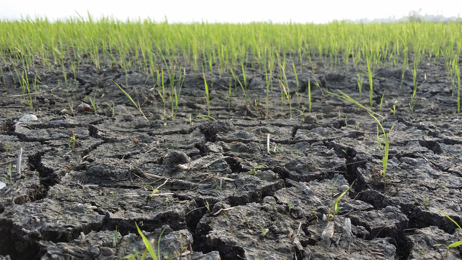 Cracked soil at Sekinchan Paddy Field Cereal Crack Cracked EyeEm Best Shots EyeEm Nature Lover Green Land Meadow Nature Paddy Field Rice Field Soil
