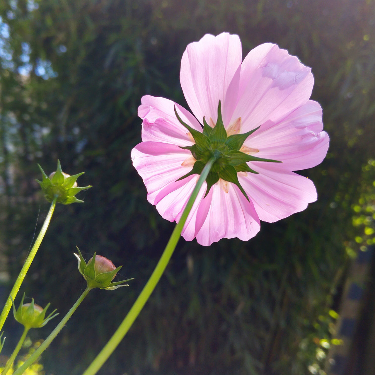 flower, nature, plant, growth, fragility, beauty in nature, petal, freshness, no people, outdoors, blooming, day, flower head, close-up