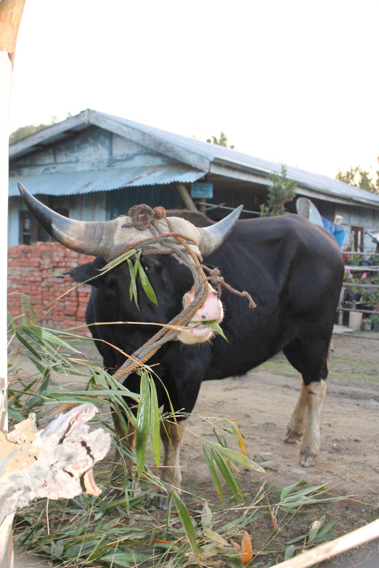Bull Black Bull Animal