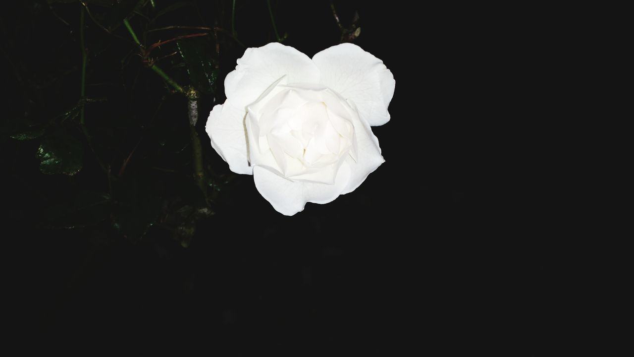 White Rose Black Background Flower Head Beauty In Nature Outdoors Close-up Flower Growth Plant Petal First Eyeem Photo