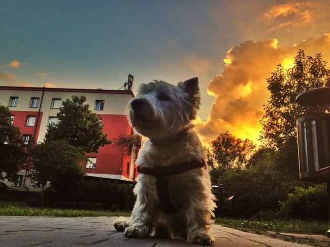 Westie Sunset Cloud And Sky IPSEmotions