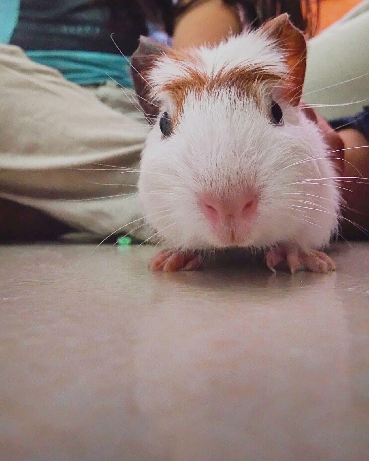 Beautiful stock photos of guinea-pigs, Animal Themes, Cross-Legged, Cute, Day