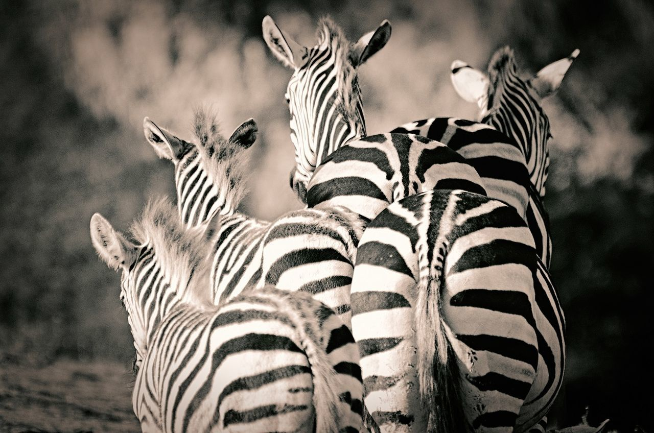 Animal_collection Animals Animal Photography Monochrome Art Zebra I LOVE PHOTOGRAPHY Emotions Popular Photos EyeEm Best Shots