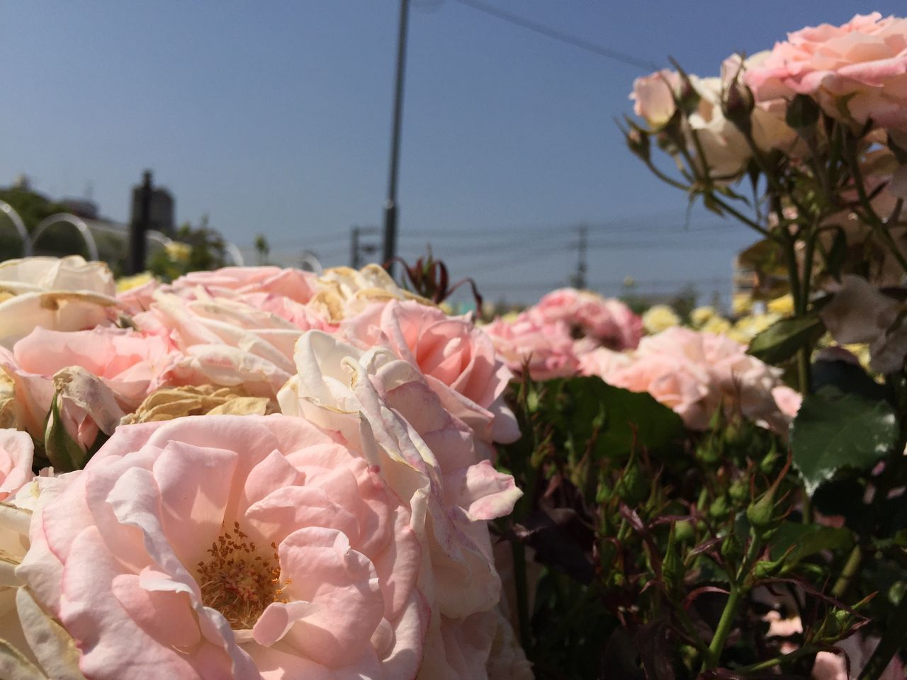 Traveling Taking Pictures Japanese  Japan Fukuyama-city Travel Photography Beautiful Flowers Rosé