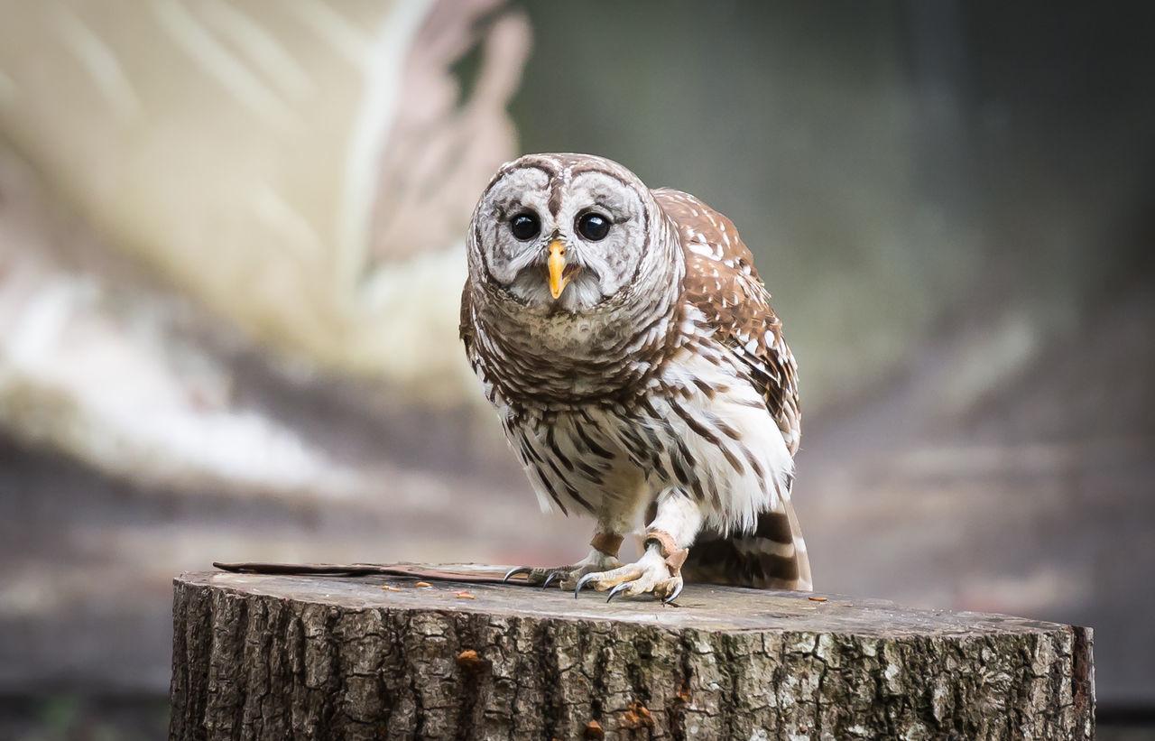 Beautiful stock photos of owl, Alertness, Animal Eye, Animal Themes, Bird