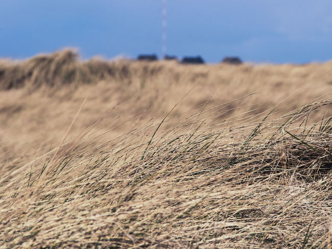 Sylt's Grasslands Blue Sky Focus On Foreground Grasslands Houses Idyllic Island Island In The Sun Landscape Outdoors Scenics Selective Focus Sylt The Essence Of Summer The Great Outdoors - 2016 EyeEm Awards Tranquility