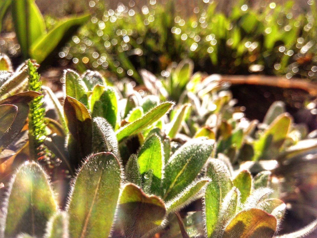 Leaves Growing Perennial Macro Morning Morning Sun Dew Dew Drops Bokeh Garden Garden Photography Hairy Leaves Showcase April