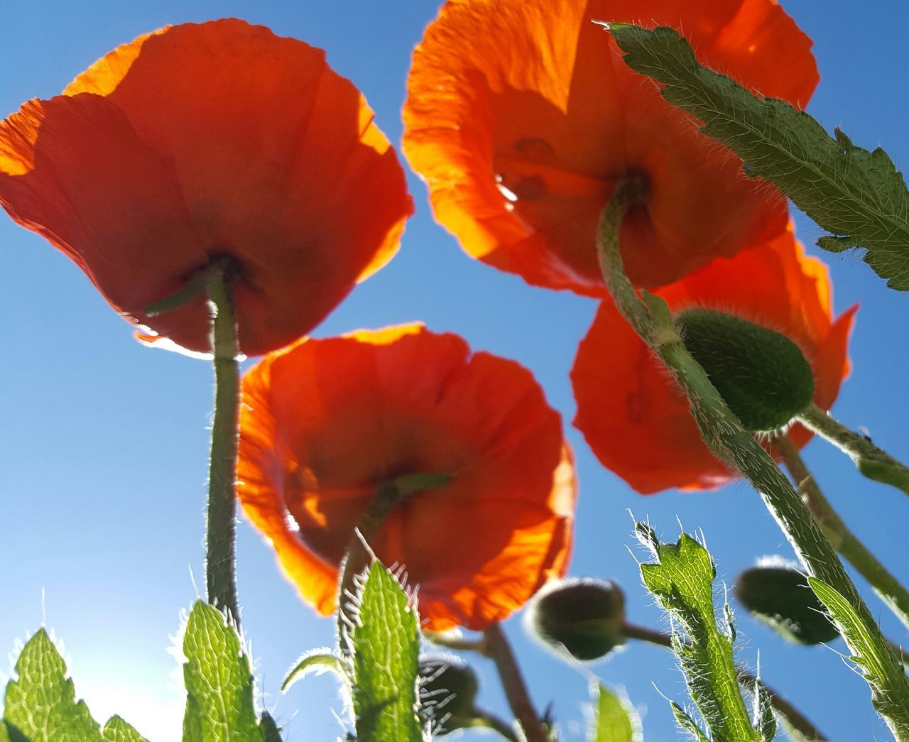 Plant Nature No People Flower Growth Fragility Day Outdoors Animal Wildlife Red Leaf Close-up Beauty In Nature Freshness Poppy Sky Flower Head